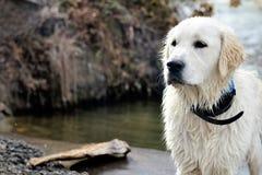 湿的猎犬 库存照片
