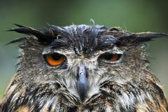 湿的猫头鹰 免版税库存照片