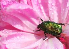 湿的甲虫 免版税图库摄影