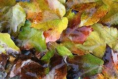湿的秋叶 免版税图库摄影