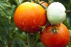 湿的蕃茄 图库摄影