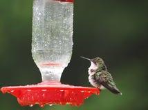 湿的蜂鸟 免版税库存图片
