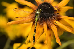 湿的蜻蜓 库存照片
