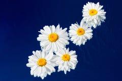 湿的雏菊 免版税图库摄影