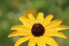 湿的雏菊 库存照片