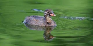 湿的鸟 库存图片