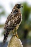 湿的鹰 免版税库存图片