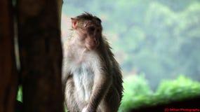 湿的猴子 免版税库存照片