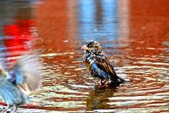 湿的麻雀 免版税库存图片