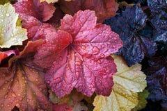 湿矾根属植物叶子 免版税库存照片