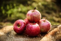 湿秋天苹果在庭院里 与雨珠的红色苹果 收获 库存照片