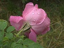 湿粉红色的玫瑰 库存照片