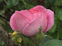 湿粉红色的玫瑰 库存图片