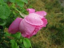 湿粉红色的玫瑰 图库摄影