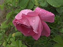 湿粉红色的玫瑰 免版税图库摄影