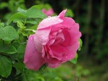 湿粉红色的玫瑰 免版税库存图片