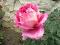 湿粉红色的玫瑰 免版税库存照片