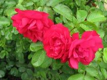 湿红色的玫瑰 免版税库存图片