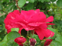 湿红色的玫瑰 免版税图库摄影