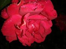 湿红色的玫瑰 库存照片