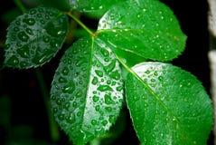 湿绿色的叶子 免版税图库摄影