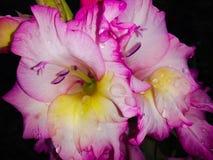 湿花的剑兰 库存照片