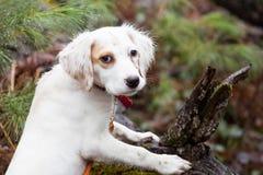 湿英国塞特种猎狗小狗 免版税图库摄影