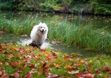 湿萨莫耶特人狗和秋天槭树叶子在背景中 免版税库存照片
