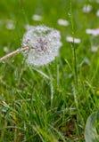 湿蒲公英在绿色草甸 库存照片