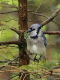 湿蓝色尖嘴鸟 免版税库存照片