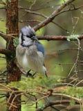 湿蓝色尖嘴鸟 免版税库存图片