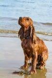湿西班牙猎狗斗鸡家坐在海滩的后腿在日落和 图库摄影