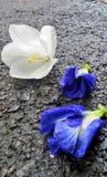 湿路和落的白色多雪的兰花和蓝色蝴蝶豌豆在雨以后开花 免版税库存照片