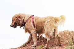 湿金毛猎犬狗使用 免版税库存照片