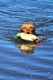 湿金毛猎犬狗拿来 免版税库存照片