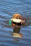 湿金毛猎犬狗拿来 图库摄影