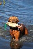 湿金毛猎犬狗拿来 免版税库存图片