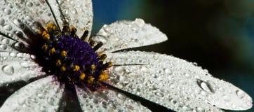 湿雏菊 免版税库存照片