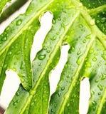 湿雨水松弛热带叶子 库存图片
