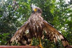 湿鹰涂它的翼 库存照片