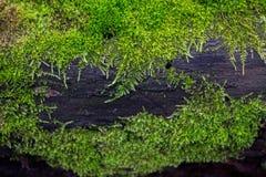 湿,明亮,绿色青苔的样式在一个黑暗的树干的 免版税库存图片