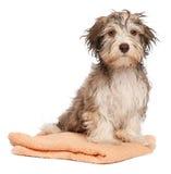 湿浴巧克力havanese的小狗 免版税图库摄影