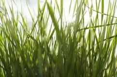 湿晴朗的草 免版税图库摄影