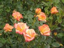 湿轻的玫瑰 免版税库存图片