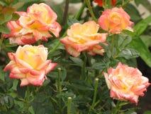 湿轻的玫瑰 库存照片
