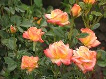 湿轻的玫瑰 库存图片