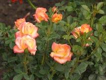 湿轻的玫瑰 免版税库存照片