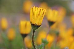 湿黄色雏菊花 库存图片