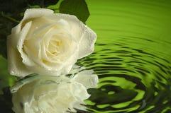 湿1朵的玫瑰 免版税库存图片