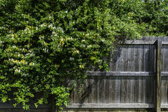 溢出在篱芭的野生黄色和白色忍冬属植物 免版税图库摄影